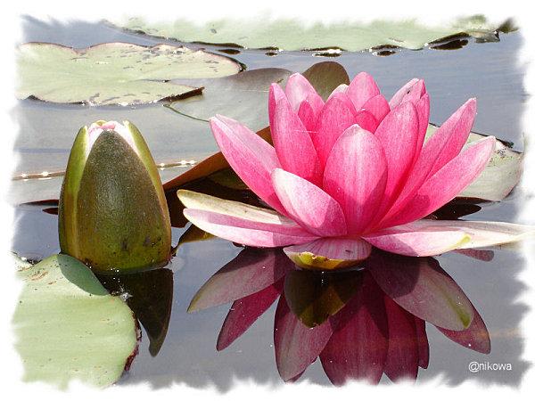 Fleur-de-lotus01028